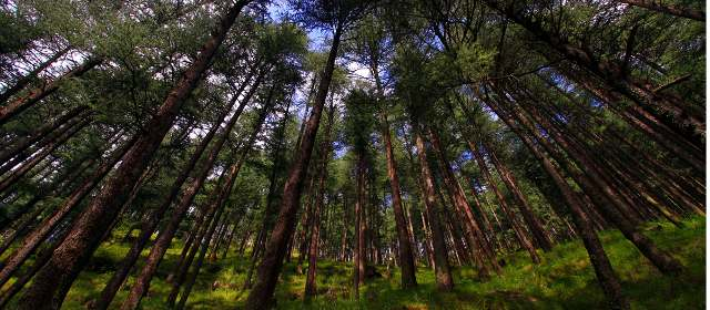 Blue Pine Forest