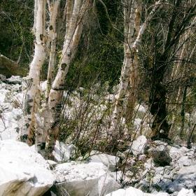 Khorli Poi Birch Forest Tirthan (3,300m)
