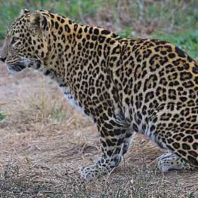 Common Leopard