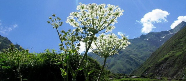 Heracleum candicans, tirthan 3,500m