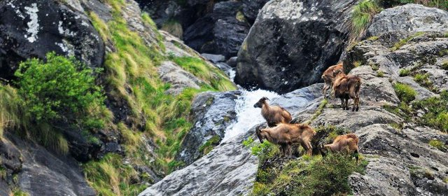 Himalayan Tahr group near Majhoni Meadow